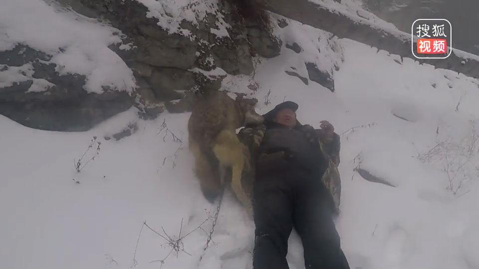 狼群为何会对新生幼狼痛下杀手?养狼人道明其中原因,让人心疼!