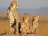 非洲猫科 预告片
