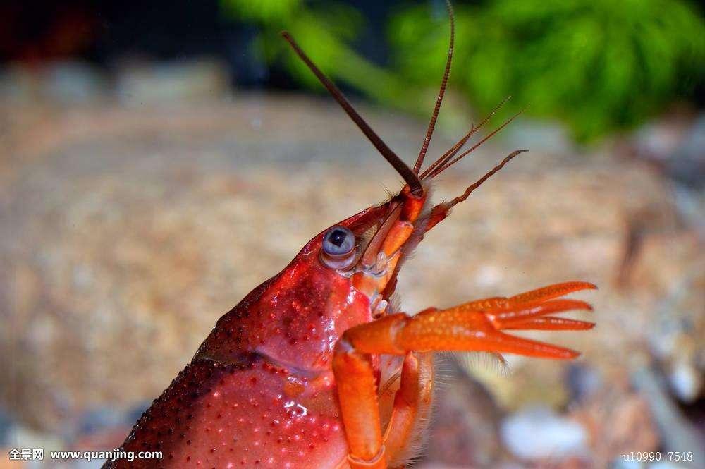 生活在树上的小龙虾你见过吗?与小龙虾长得一样却并不是小龙虾?