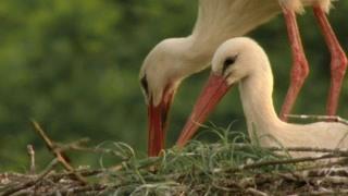 长喙的白鹤利用自己的喙筑建自己的房屋并升华感情 动物真奇妙