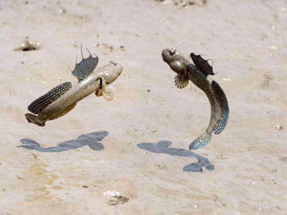 探索与众不同的跳跳鱼,揭秘跳跳鱼水陆两栖本领,是怎么形成的?