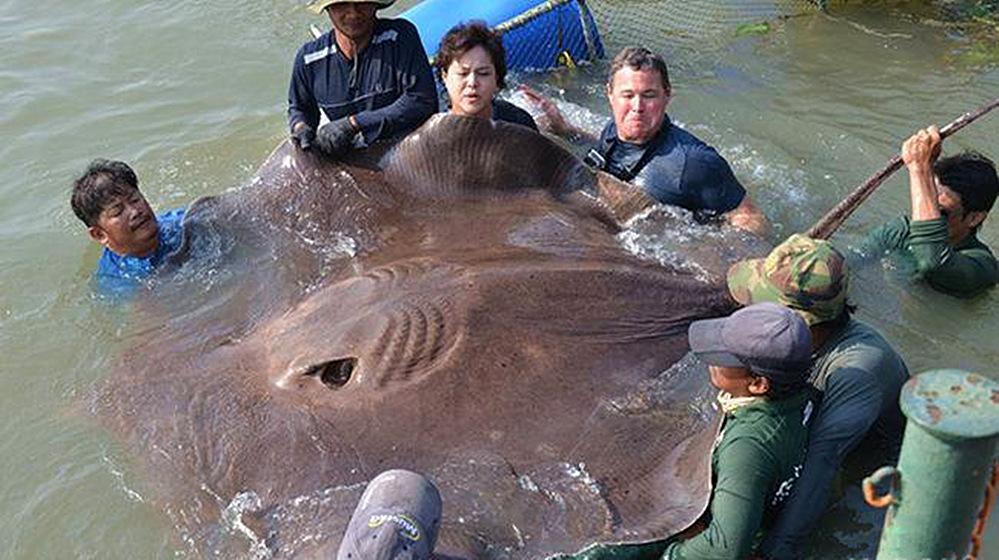世界上最大的淡水鱼在湄公河被捕,重达725斤!
