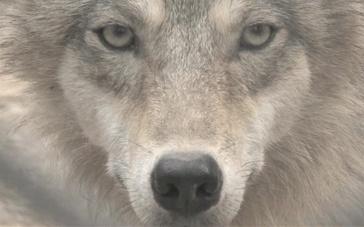 《狼图腾》制作特辑之美术篇 还原真实年代特点