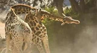 《地球:神奇的一天》长颈鹿特辑