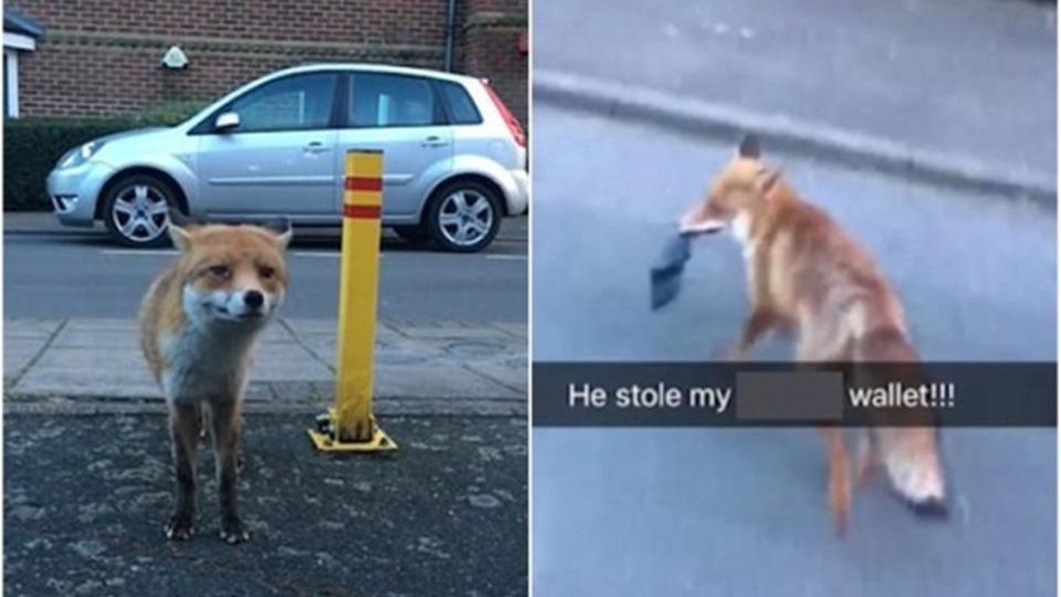 狡猾的狐狸市区现身 假装温顺靠近男子伺机抢走钱包