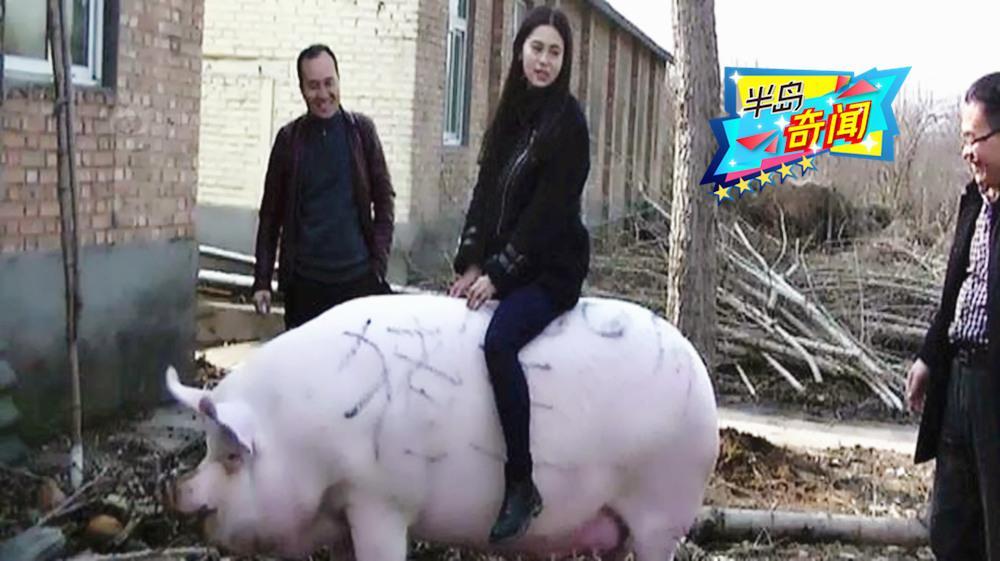 美女当牛骑的1500斤猪王,王位没坐满一周就被杀了!