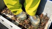 心疼!日本湖泊小龙虾泛滥:直接踩碎当肥料