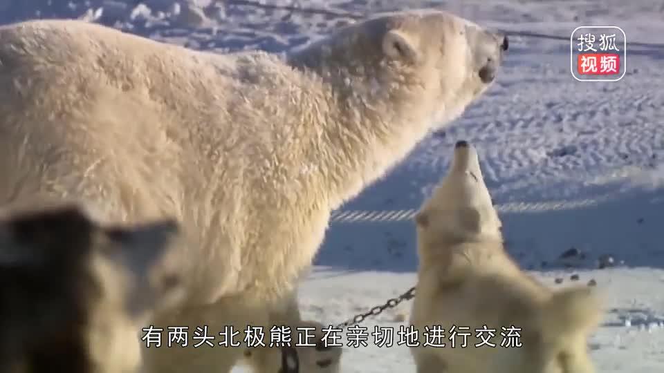 北极熊:我这样抱着你你感动吗?二哈:不敢动,不敢动!