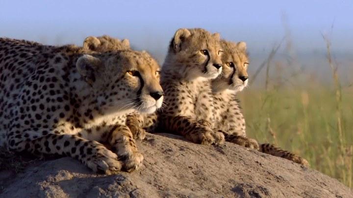 非洲猫科 其它花絮:首映现场
