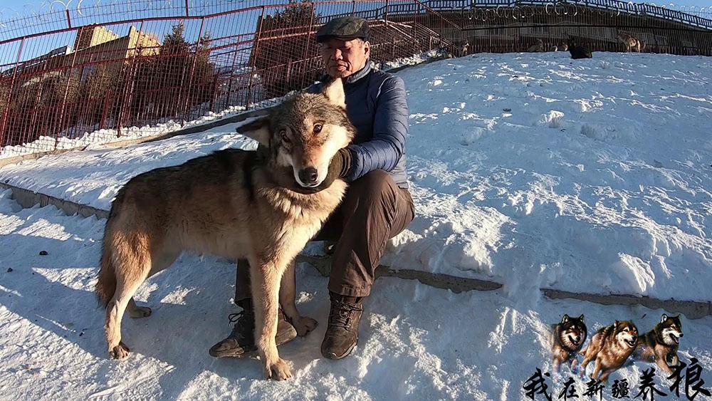 新疆大爷养狼18年,狼看到他就像亲人,为何他能得到狼的信任?