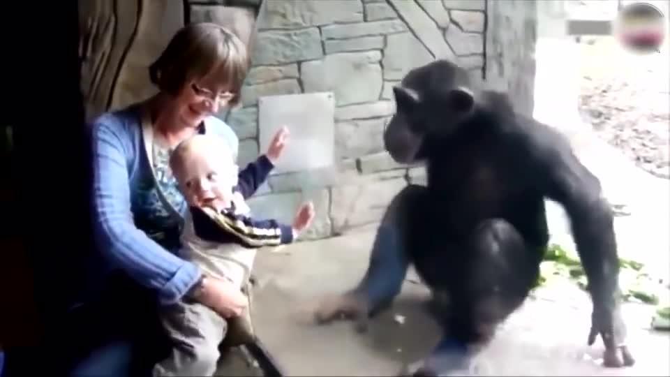 正在闭目养神的猩猩突然发了一下飙