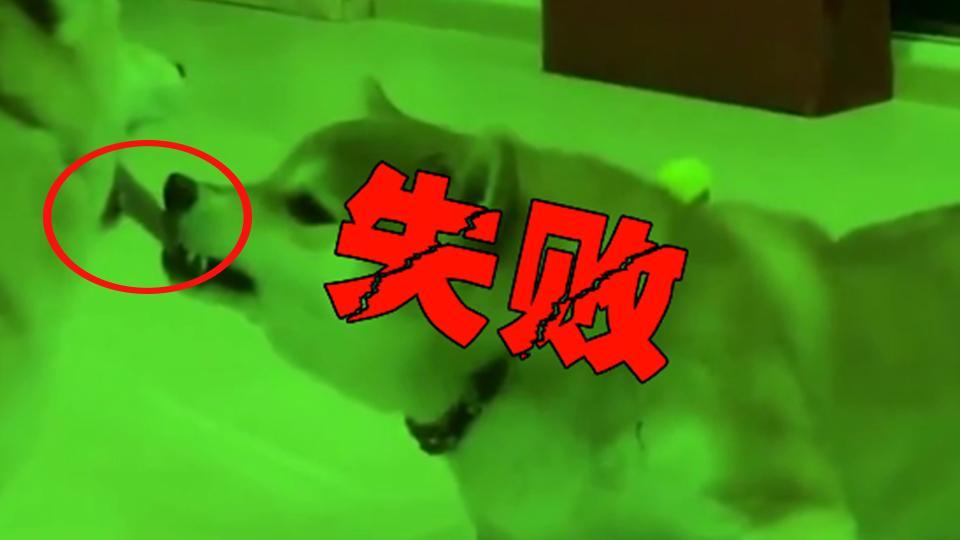 小柴犬用舌头挑逗大柴犬 结果悲剧了