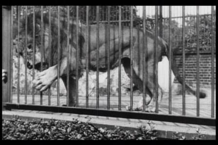 伦敦动物园的狮子