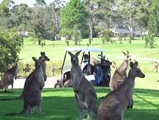 300多只袋鼠占领高尔夫球场 有人挥杆时会看球