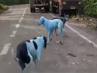 心疼!印度河流重度污染 多只狗狗被染成蓝色
