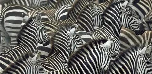 斑马究竟是黑底白条还是白底黑条?