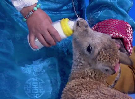用奶瓶喂藏羚羊宝宝