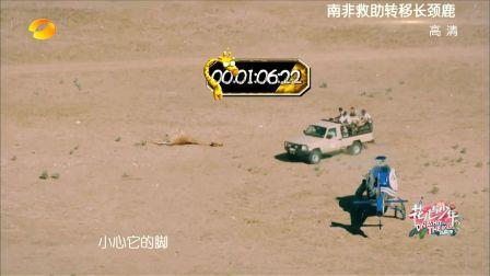 花少团救助转移长颈鹿