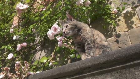 比利时修道院里的猫咪 优雅的梳理毛发