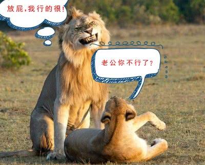 雄狮和母狮造娃表情把网友乐翻了 ...