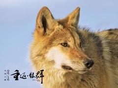 """《重返-狼群》""""陆川推荐版""""预告 曝光野狼现状"""