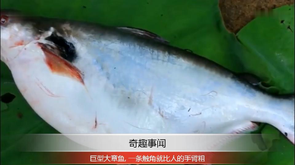 农村小伙抓了条大鱼, 割开后全是鱼子酱, 看他是怎么做来吃的