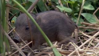 比兔子还迷你的世界最小印度野猪