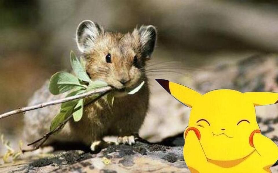皮卡丘的来源是老鼠?20多年都被骗了,它原来长这样?