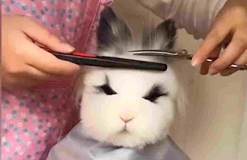 萌!依靠剪发出道走红的兔子