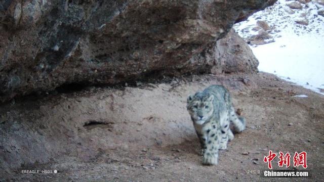 三江源國家公園黃河源園區首次拍攝到雪豹活動影像