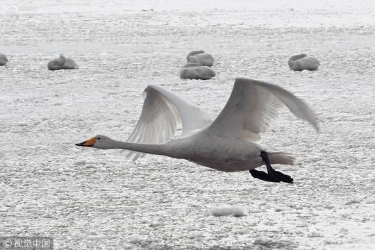 天鹅湖大面积结冰 大天鹅冰面起舞