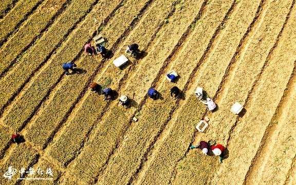 安徽廬江 :千畝菊花播種忙 扶貧路上帶臨鄉