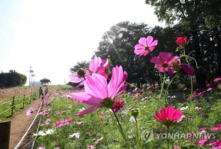 【组图】韩国波斯菊花海吸引游客赏秋