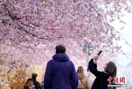 德国柏林进入赏樱季