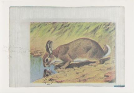 约瑟夫·博伊斯-American Hare Sugar I