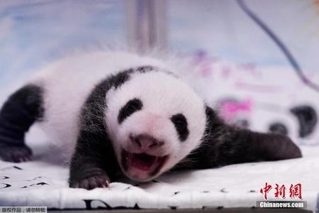 比利时双胞胎大熊猫幼仔满月 探头探脑萌翻了
