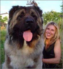 高加索犬属于世界上体型最大的狗