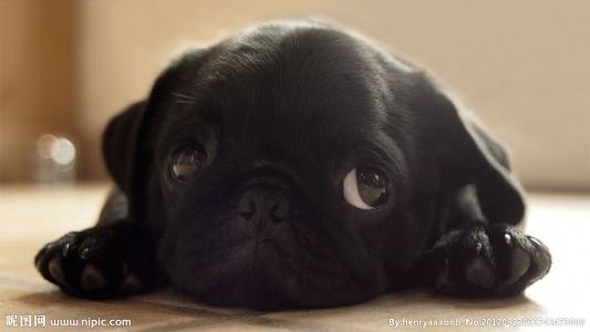 哈巴狗拥有十分强烈的自尊心和超强的自我意识