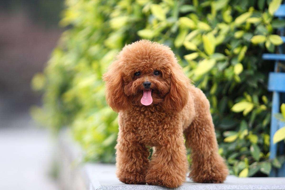 不要养条贵宾犬就把自己当贵宾了,遛狗牵绳是基本的常识!