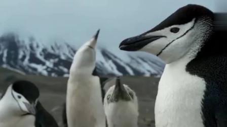 企鹅爸爸捕食,企鹅妈妈保护自己的孩子!