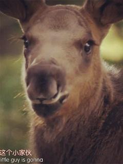 驼鹿生活剧照